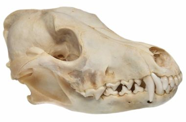 Coyote Skull Genuine Real